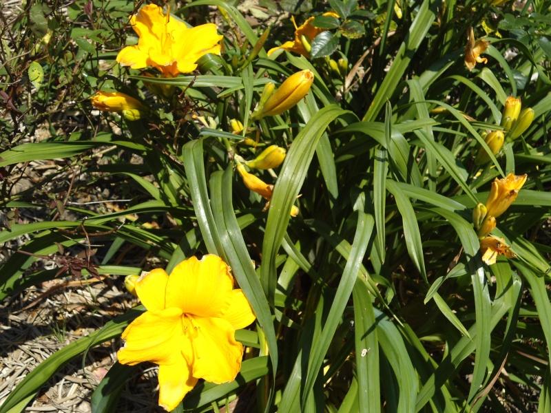 les hémérocalles du jardin en fleurs  Le_08_18