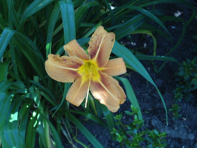 les hémérocalles du jardin en fleurs  Le_08_19