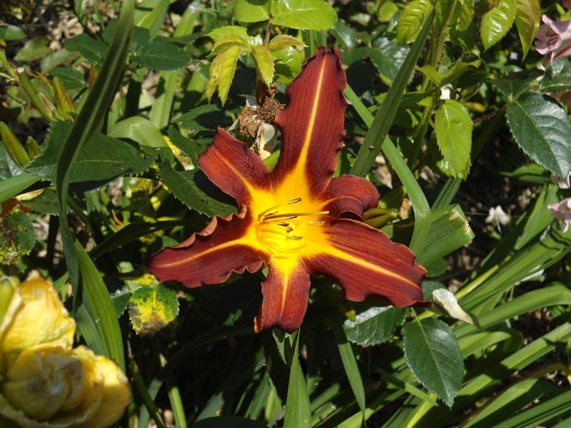 les hémérocalles du jardin en fleurs  Le_10j14