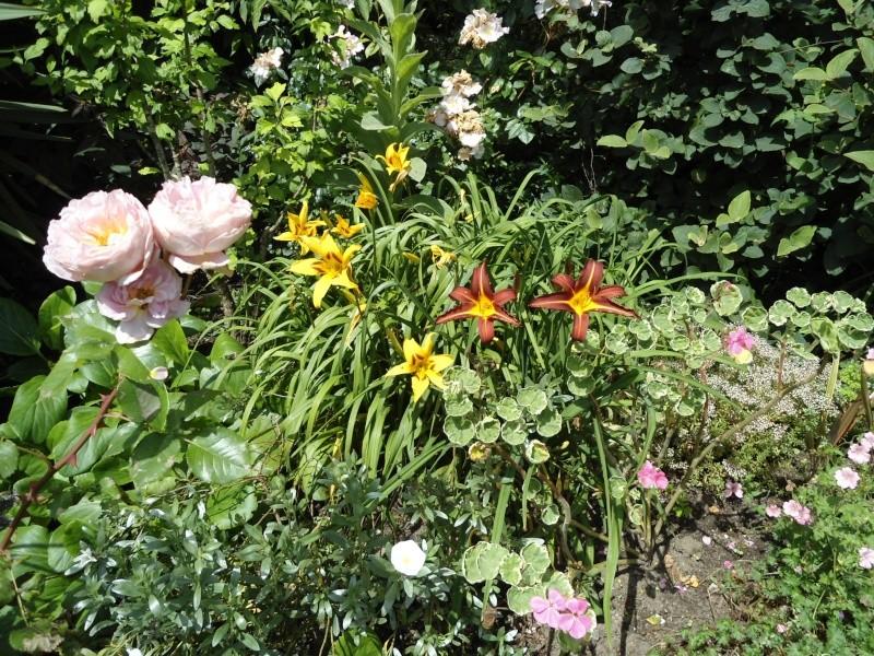les hémérocalles du jardin en fleurs  Le_30_11