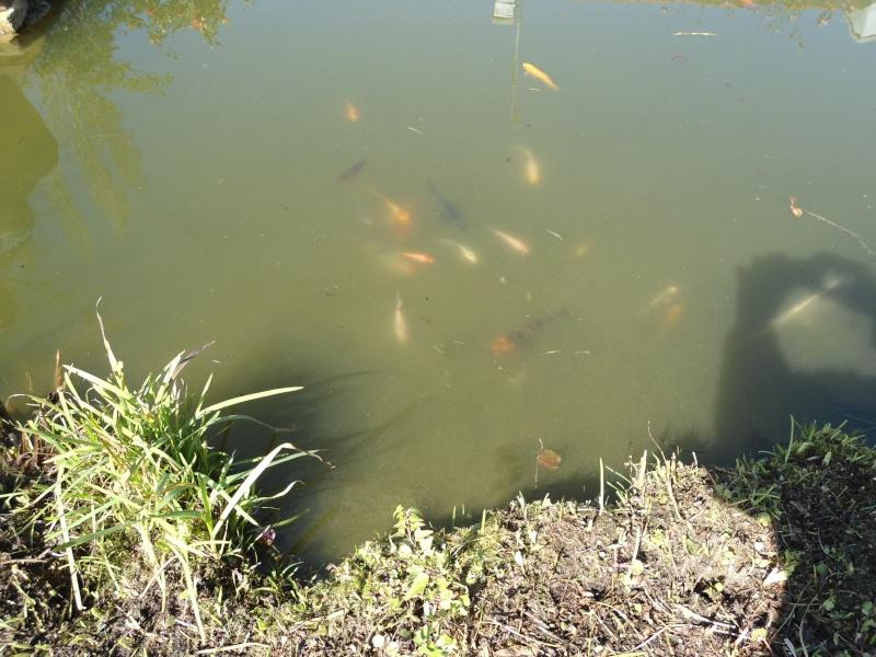 bassins fleuris  et poissons  Rrrrrr12