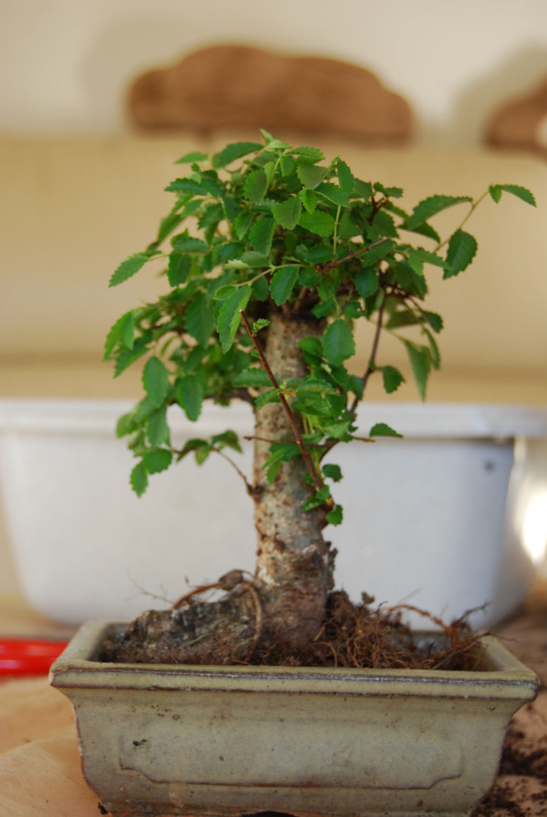 Expérience - autogreffe de racines sur orme de Chine Dsc_1139