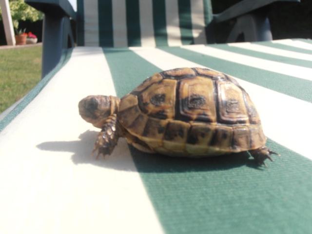 Identification de ma tortue et conseil  P7080210