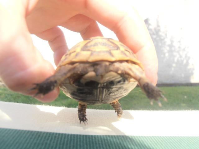 Identification de ma tortue et conseil  P7080212