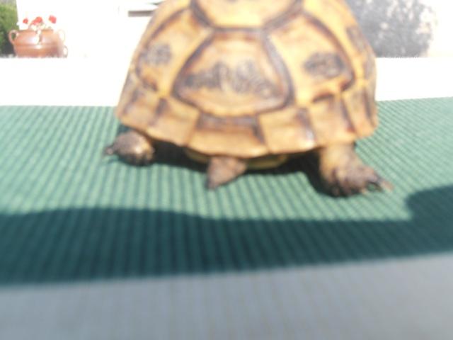 Identification de ma tortue et conseil  P7080213