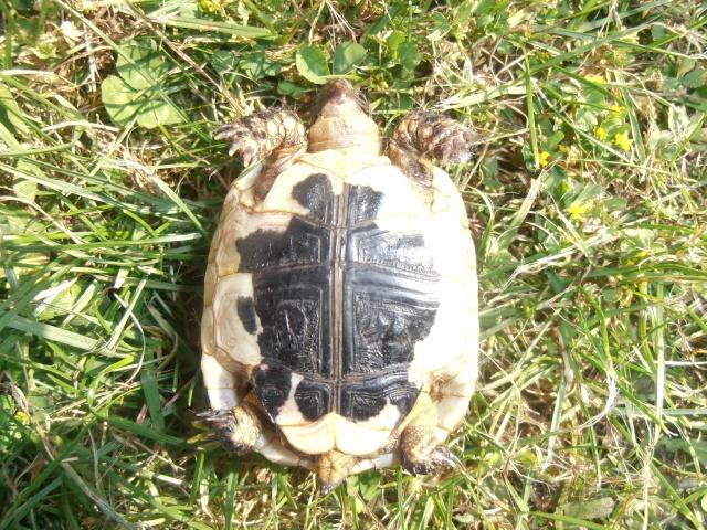 Identification de ma tortue et conseil  P7080214