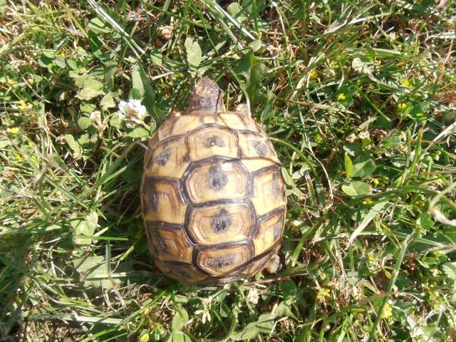 Identification de ma tortue et conseil  P7080215