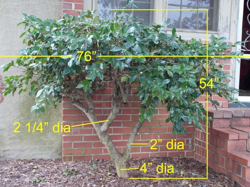 Need some honest advice about a 30+ year old Camellia Dscn0116