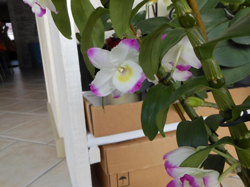 Dendrobium Nobile Irene Smile Dendro12