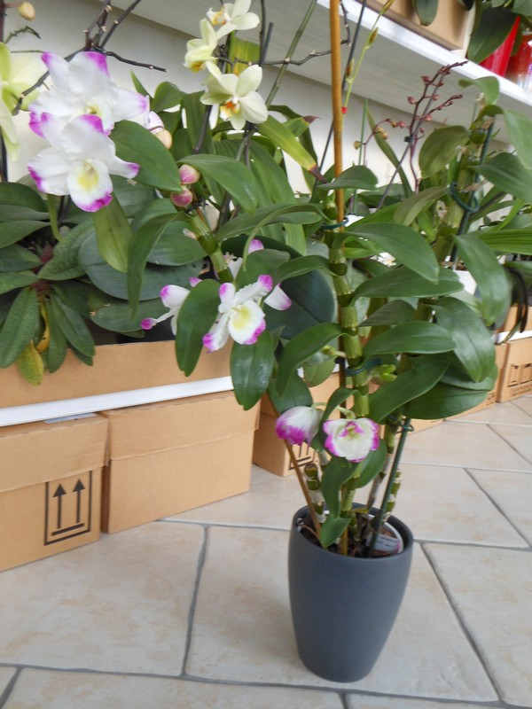 Dendrobium Nobile Irene Smile Dendro13