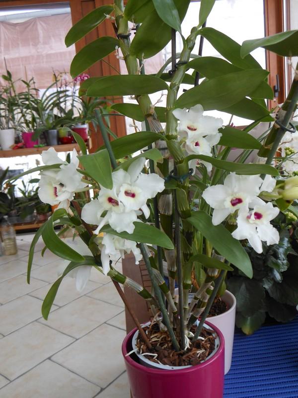 Dendrobium Nobile Siegfried Lenz Kassia Dendro15