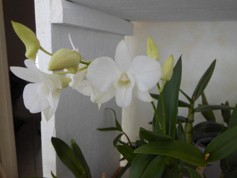 Dendrobium Phalaenopsis Emma White Dendro16