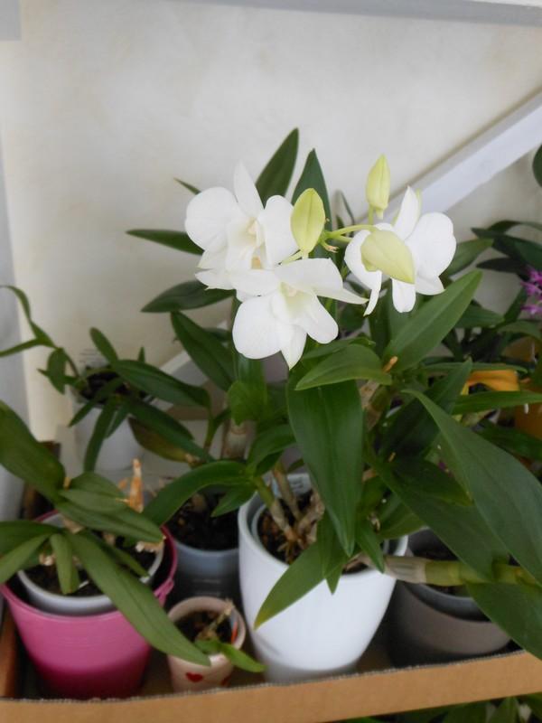 Dendrobium Phalaenopsis Emma White Dendro17