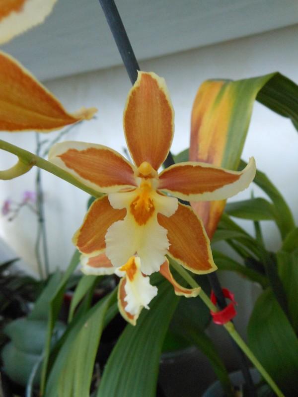 Odontoglossum hybride Odonto10