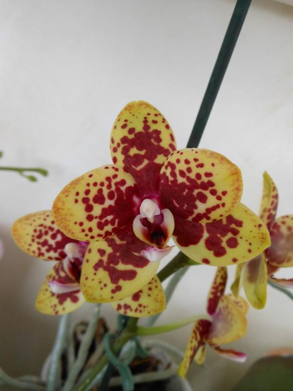 quelques Phalaenopsis hybrides Phal1710