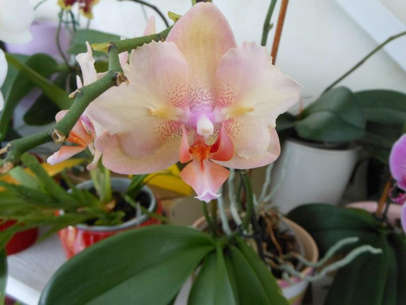 quelques Phalaenopsis hybrides Phal_110