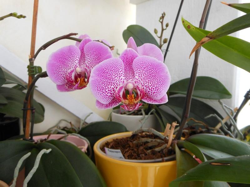 quelques Phalaenopsis hybrides Phal_111