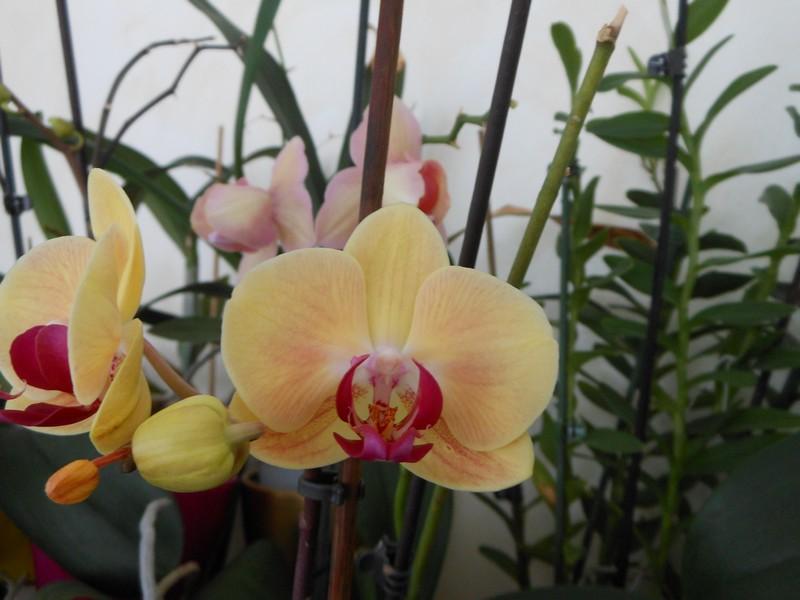 quelques Phalaenopsis hybrides Phal_113