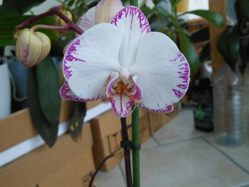 Phalaenopsis Minho Princess Phal_114