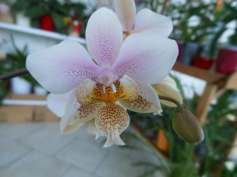 Phalaenopsis Wiganiae Phal_210