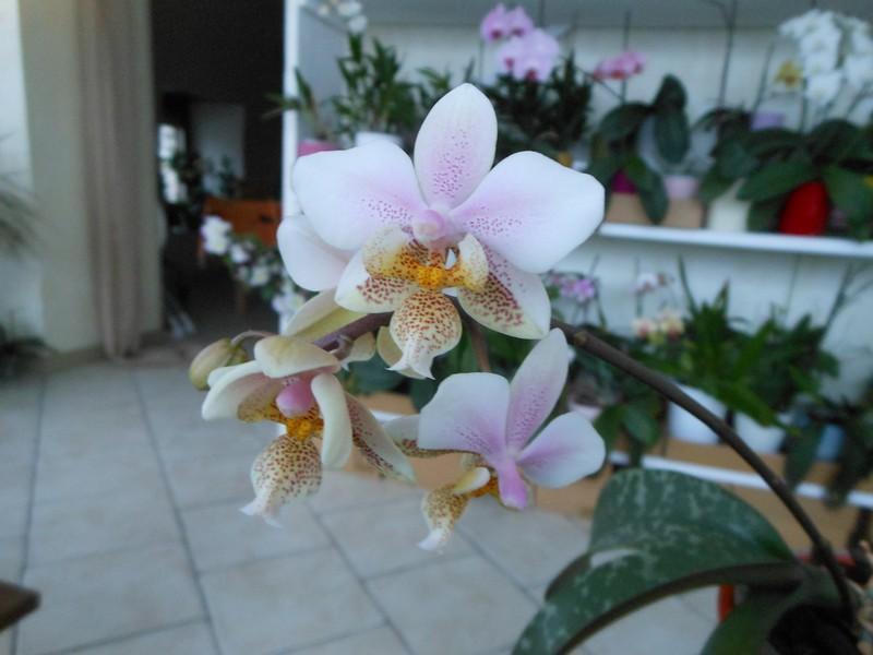 Phalaenopsis Wiganiae Phal_211