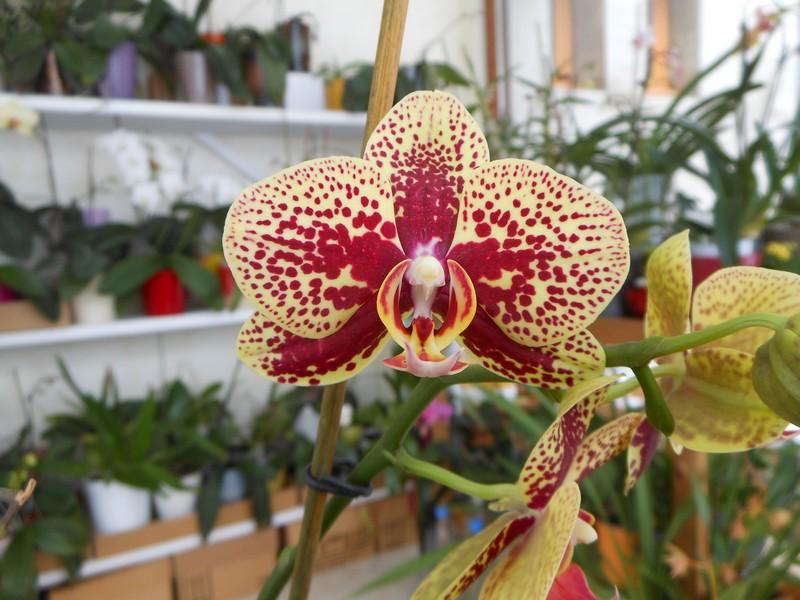 Phalaenopsis Elegant Charms Phal_310