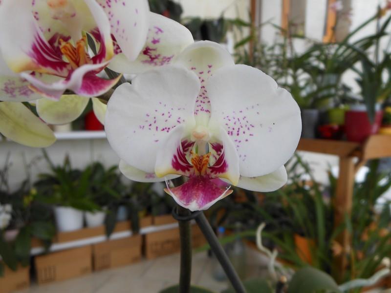 quelques Phalaenopsis hybrides Phal_311