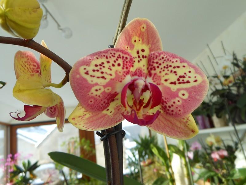 quelques Phalaenopsis hybrides Phal_510
