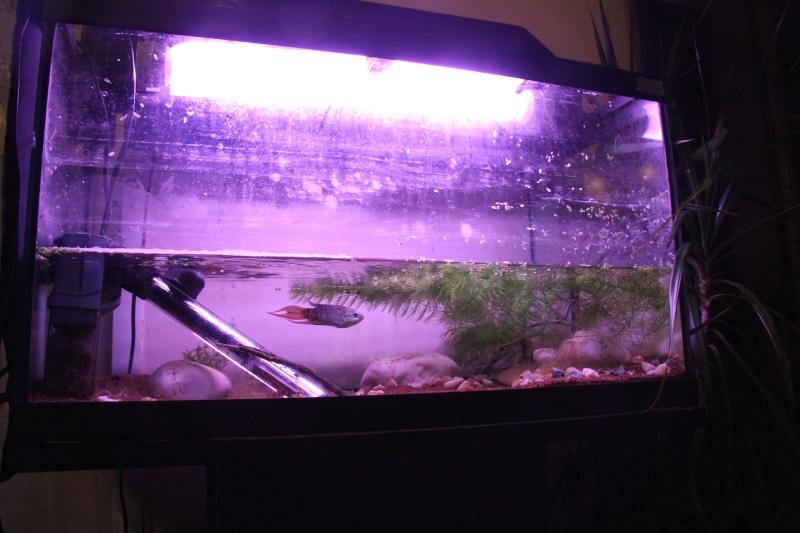 Aquarium Macropodus opercularis + alevins Img_8110