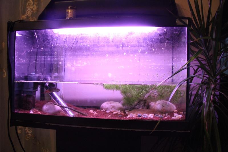 Aquarium Macropodus opercularis + alevins Img_8111