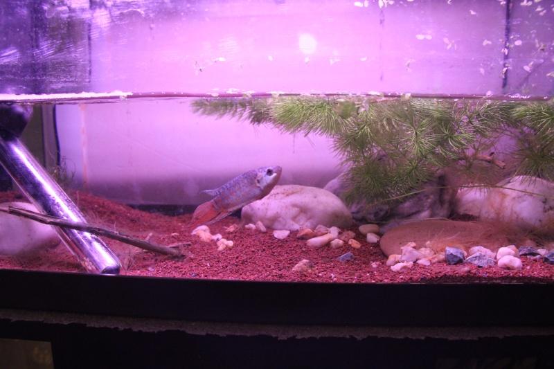 Aquarium Macropodus opercularis + alevins Img_8112