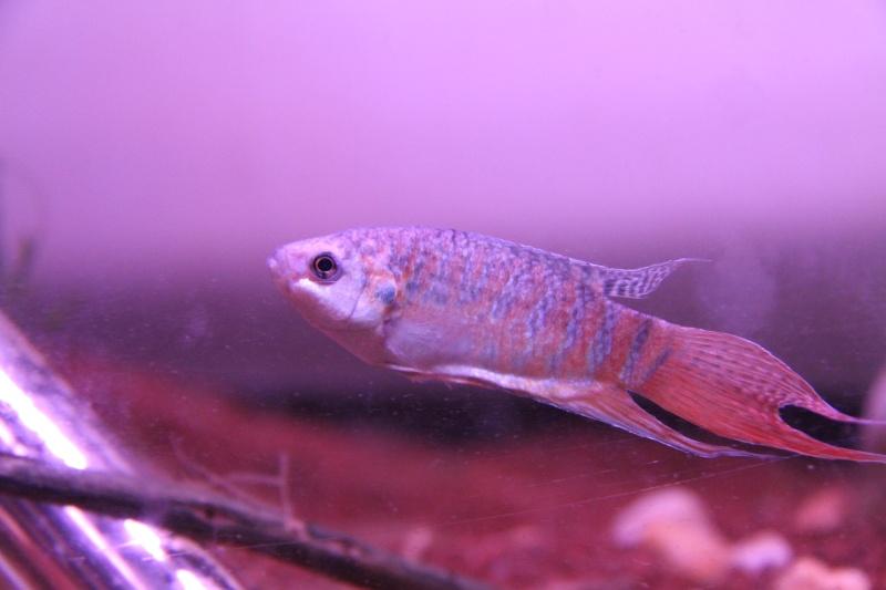 Aquarium Macropodus opercularis + alevins Img_8113