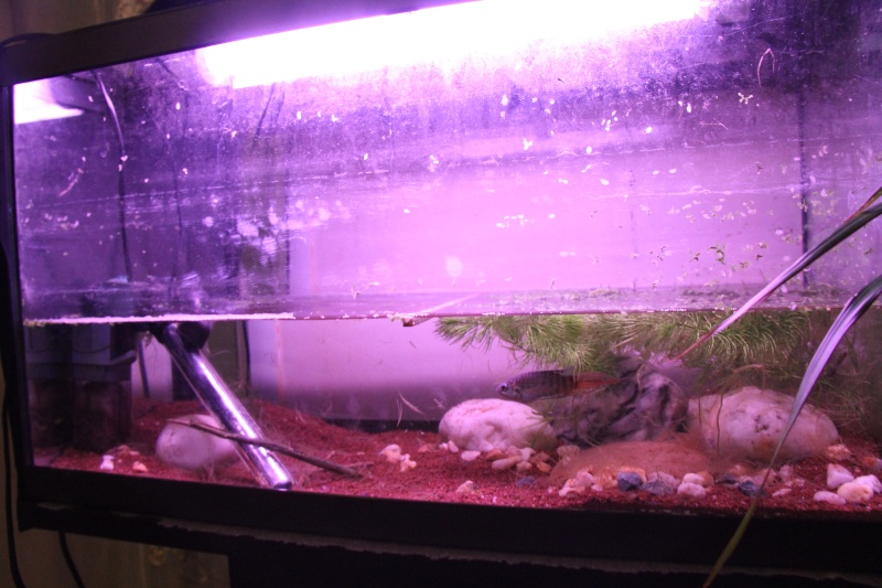 Aquarium Macropodus opercularis + alevins Img_8115