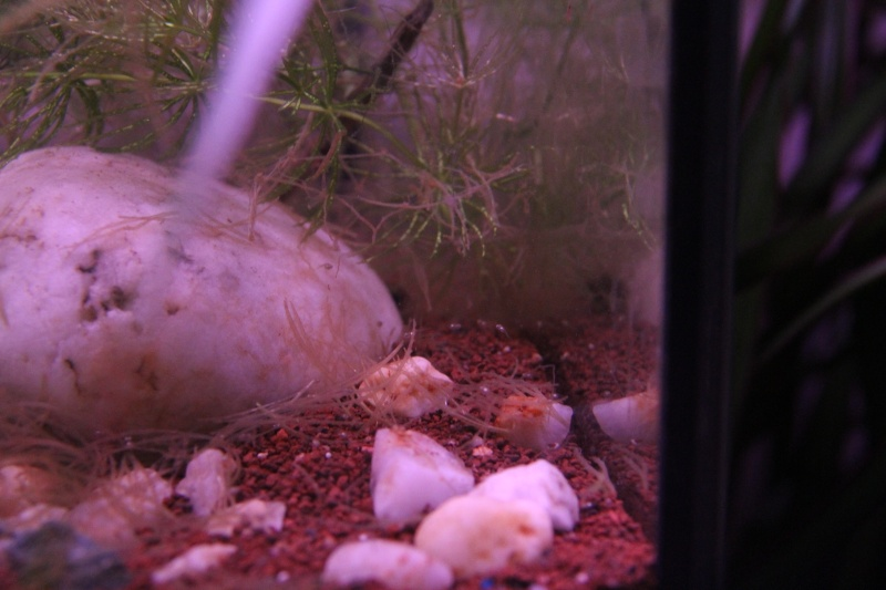 Aquarium Macropodus opercularis + alevins Img_8118