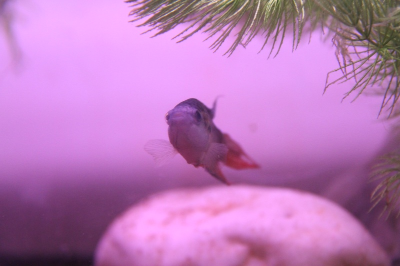 Aquarium Macropodus opercularis + alevins Img_8210