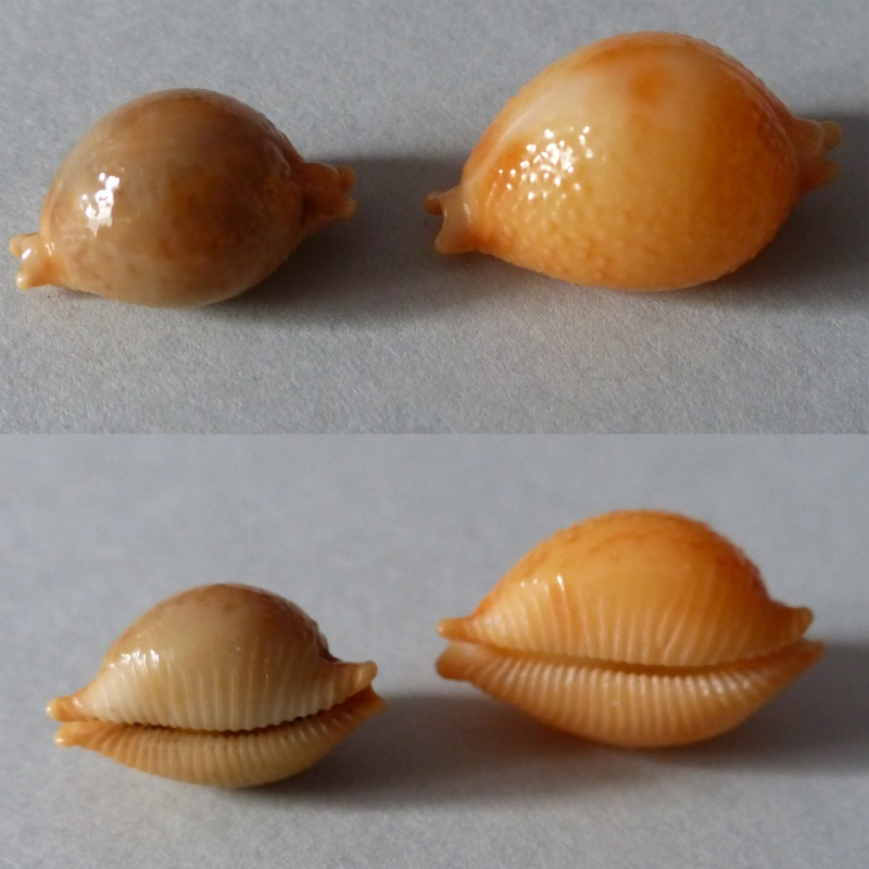 Pustularia chiapponii beatricae - Lorenz, 2014 Chiapp10