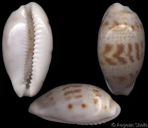 Talostolida latior - (Melvill, 1888) Cyprae10