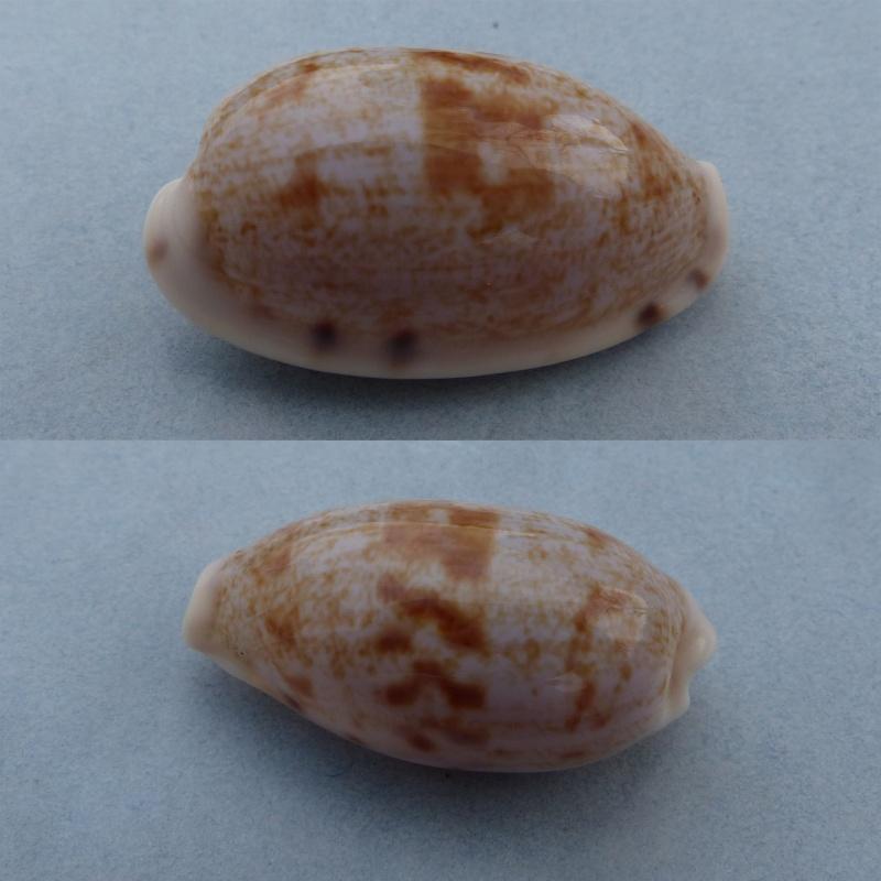 Talostolida latior - (Melvill, 1888) Latior10