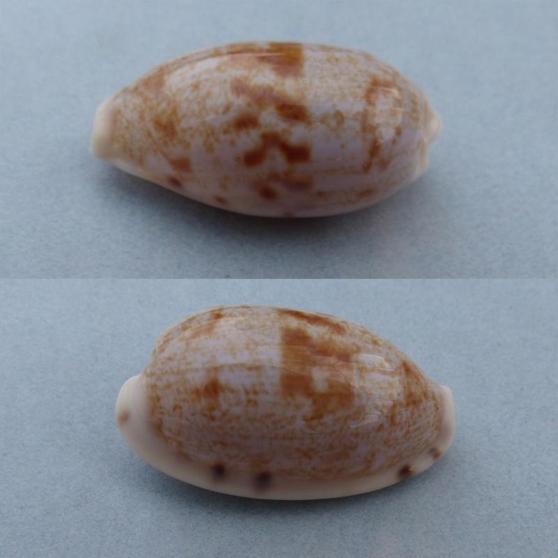 Talostolida latior - (Melvill, 1888) Latior12