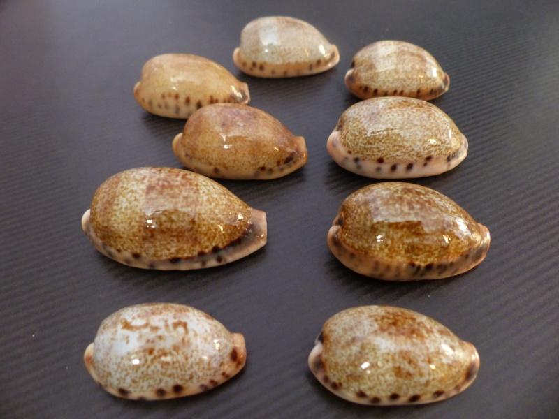 Erronea caurica elongata - (Perry, 1811) P1070610