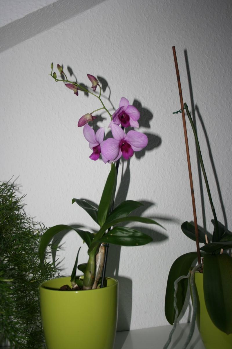 welches Dendrobium ist das ? Dendr10