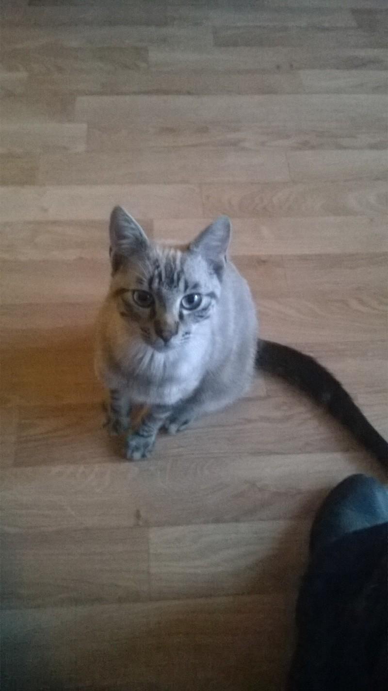 Trouvé Chat gris à St Jacques de La Lande Wp_20111