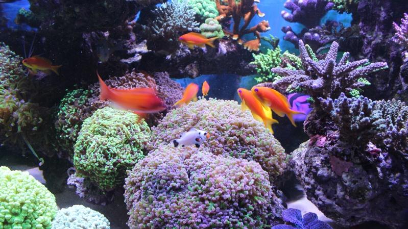 Le nouveau Reef d'Alexpilon, 600l custom - Page 20 Img_0915