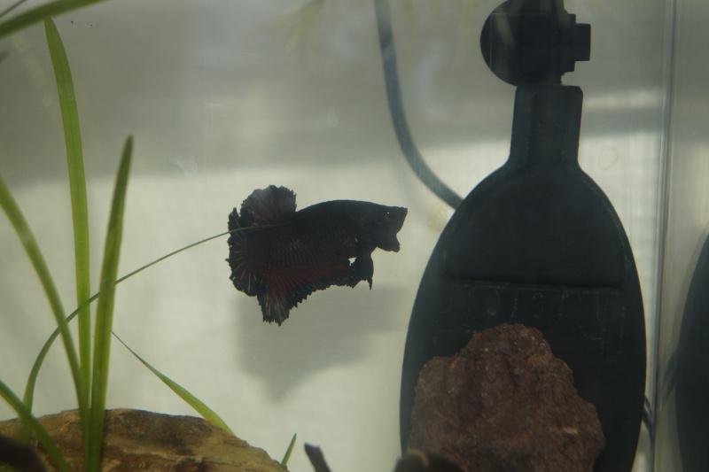 femelle black copper  ,  plakat OHM Dsc00710