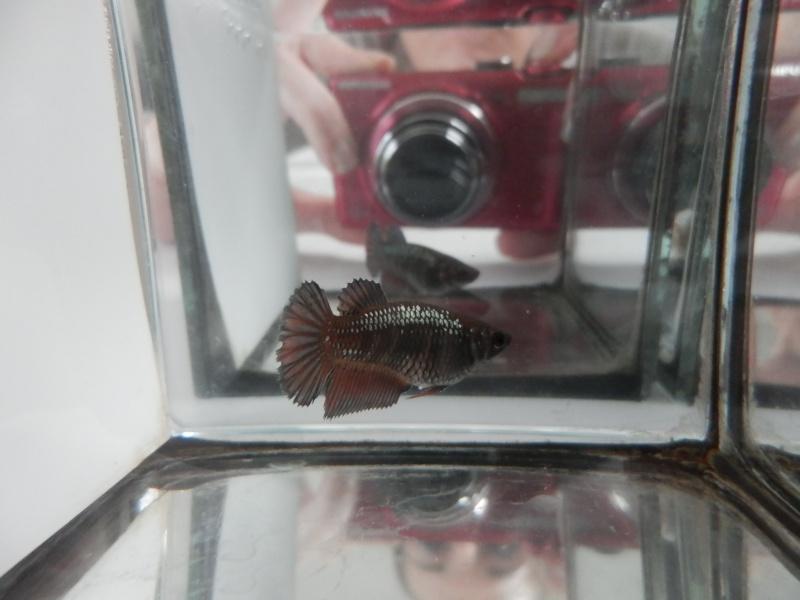 Male CT orange copper  / femelle HM black copper dragon  - Page 3 P2070511