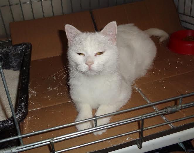 PRINCESSE, chatte née en 2010 env. (CARMINA) En FA chez Yas.h (Belgique) Prince13