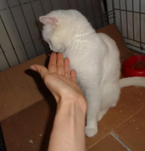 PRINCESSE, chatte née en 2010 env. (CARMINA) En FA chez Yas.h (Belgique) Prince14
