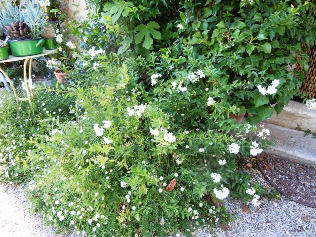 Solanum jasminoides - faux-jasmin Octobr29
