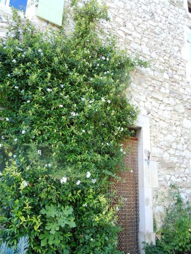 Solanum jasminoides - faux-jasmin Octobr30