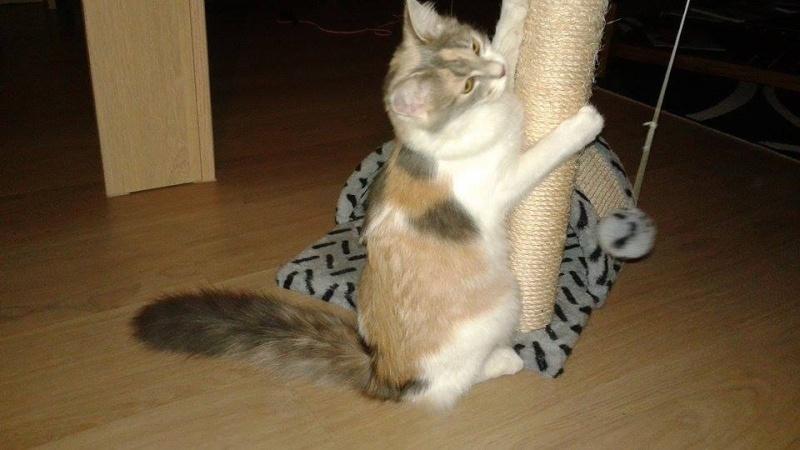 Lilo - Adorable chatonne Trico - Réservée 10921810